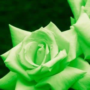 Green-Rose-Bounty-Money-Meditation